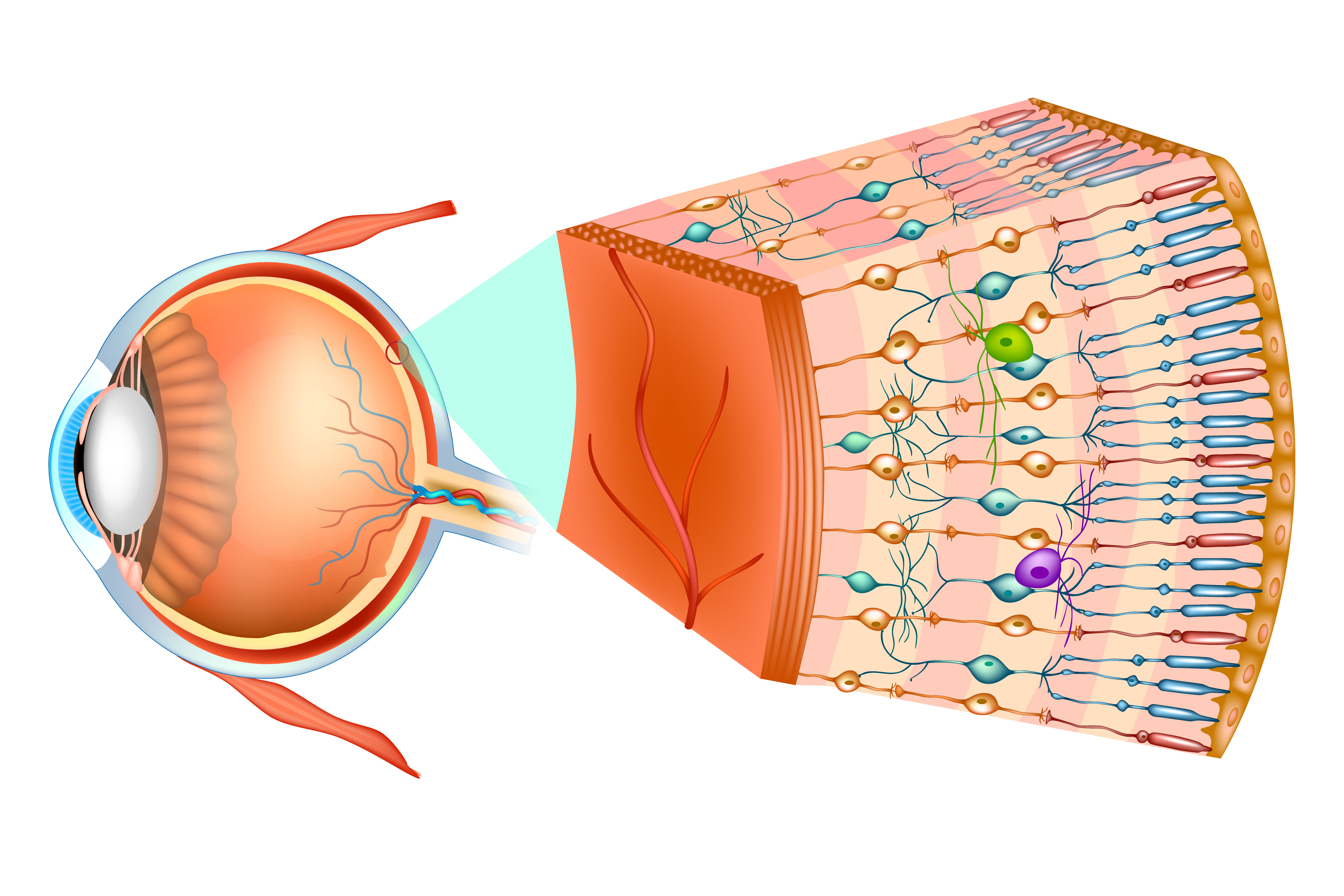 retina is located in the inner part